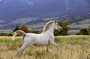 Horse Run Photos - White Horse  by Alan and Sandy Carey and Photo Researchers