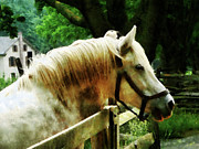 Fences Prints - White Horse Closeup Print by Susan Savad