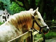 White Horse Closeup Print by Susan Savad
