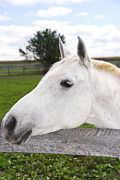 Pen  Photo Posters - White horse Poster by Elena Elisseeva