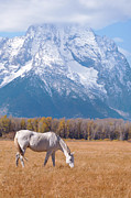Grazing Horse Posters - White Horse In Teton National Park Wy Usa Poster by Chasing Light Photography Thomas Vela
