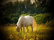 Rural Indiana Framed Prints - White Horse Framed Print by Joyce  Kimble Smith