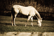Race Horse Photos - White horse by Martin Rochefort