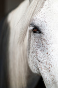 Close-up Portrait Posters - White Horse Portrait Poster by Emmanuel Breton