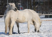 Horse Stable Posters - White horses in the snow  Poster by Jaroslaw Grudzinski