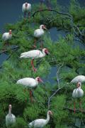 Galveston Prints - White Ibis At Galveston Bay Near Smith Print by Joel Sartore