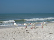 Sea Shells Photos - White Ibis in Naples Florida by Heidi Hermes