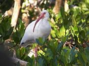 White Ibis Print by Judy Via-Wolff