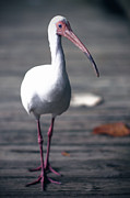 Moon Time Photo - White ibis