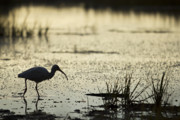 Waterfowl Prints - White Ibis Morning Hunt Print by Dustin K Ryan