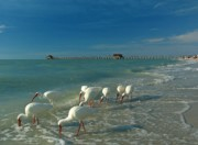 Town Acrylic Prints - White Ibis near Historic Naples Pier Acrylic Print by Juergen Roth