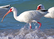 Ibis Art - White Ibis on the Shore by Betsy A Cutler East Coast Barrier Islands