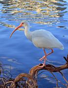 White Ibis Print by Rick Lesquier