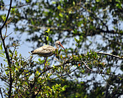 Ibis Photos - White Ibis Roosting by Al Powell Photography USA