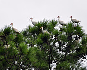 Migratory Bird Prints - White Ibises Roosting Print by Al Powell Photography USA