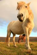 Without Freedom Posters - White Icelandic Horse, Iceland Poster by Robert Postma