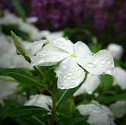 Beckley Wv Photographer Posters - White Impatiens with morning dew Poster by Lj Lambert