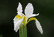 Rain Drop Prints - White Iris Print by Juergen Roth