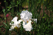 Garden Photos - White Iris  by Kelly Rader