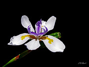 Photography Originals - White Iris by Michael Durst