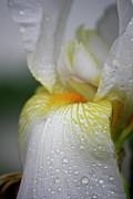 White Iris Study No 7 Print by Teresa Mucha