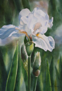 White Flower Paintings - White Iris with Bud by Sharon Freeman