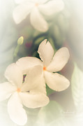 Invitations Photos - White Jasmine in Bloom by Robin Lewis