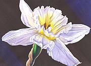 Daffodil Painting Framed Prints - White Jonquil Framed Print by Catherine G McElroy