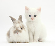 House Pet Prints - White Kitten And Baby Rabbit Print by Mark Taylor