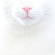 Snout Framed Prints - White Kitty Cat With Pink Nose Framed Print by TC Morgan Photography