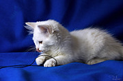 White Kitty On Blue Print by Raffaella Lunelli