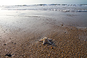Knobby Prints - White Knobby Seastar Print by Betsy A Cutler East Coast Barrier Islands