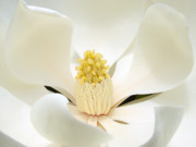 Magnolia Macro Framed Prints - White Light Framed Print by Blair Wainman