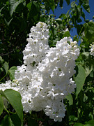 Mccoy Prints - White lilacs Print by Claude McCoy