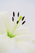 Pistils Framed Prints - White lily  Framed Print by Angela Doelling AD DESIGN Photo and PhotoArt