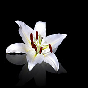 Pollen Prints - White lily Print by Jane Rix