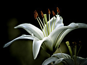 White Petals Framed Prints - White Lily Framed Print by Julie Palencia