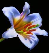 White Lily Print by Jurek Zamoyski