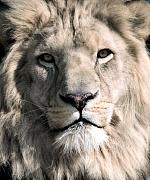 Lion Prints - White Lion Print by Dean Bertoncelj