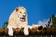 Licking Paws Posters - White Lion Licking Nose Poster by Sarah Cheriton-Jones