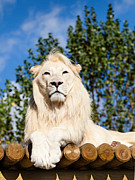 Wooden Platform Framed Prints - White Lion Posing Framed Print by Sarah Cheriton-Jones