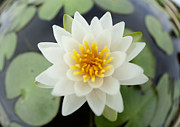 Sink Originals - White lotus by Anek Suwannaphoom