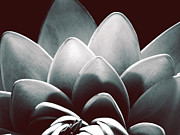 Blossoming Prints - White Lotus At Dawn Print by Sumit Mehndiratta
