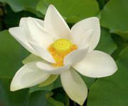 Lotus Leaves Posters - White Lotus Poster by Elvira Butler