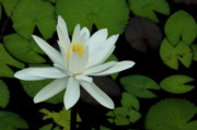 White Water Lilies Posters - White Lotus flower Poster by Sami Sarkis
