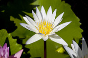 Lilly Pads Prints - White Lotus Print by Kelley King