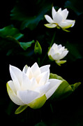 Lotus Leaf Posters - White Lotus On Black Background Poster by Chainline