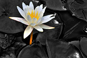 White Water Lily Posters - White Lotus Poster by Thomas Schoeller