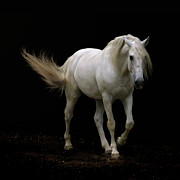 Black White Photos - White Lusitano Horse Walking by Christiana Stawski