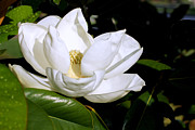 Macro Photograph Originals - White Magnolia by S Drazetic